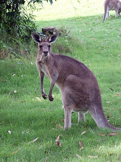 kangaroo girl