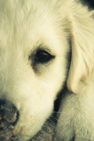 Dog augie type
