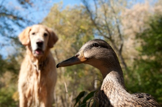 This is not Augie and not the duck. Our dog and ducks are better looking.