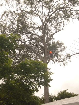 Tree cutting 2013 148