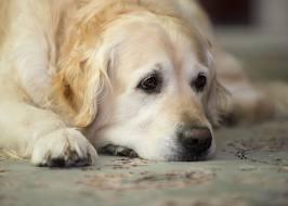 Dog sad 1