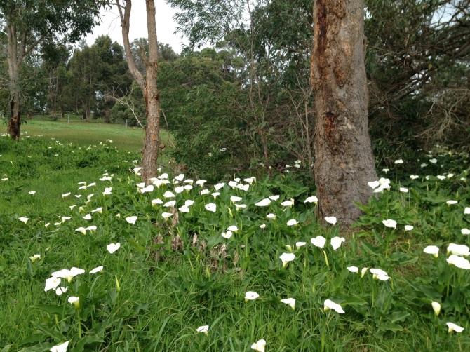 wild lilies in the fields around Margaret River, Western Australia