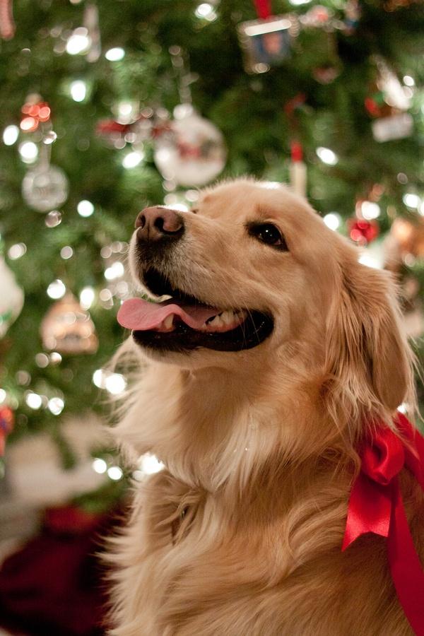 Christmas Dog 1