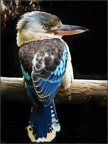 Australian Blue Winged Kookaburra
