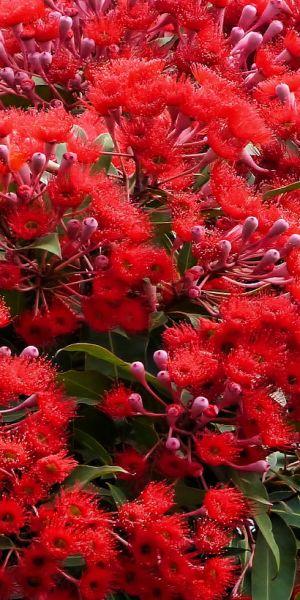 Australia Red Flowering Gum Tree