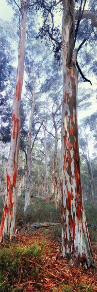 Australia snow gum forest