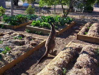 north-bundaleer-kangaroo-in-the-vegetable-garden