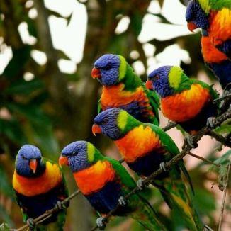 Rainbow Lorikeets 1