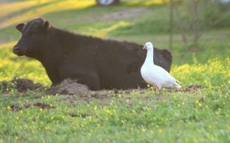 duck cow 2
