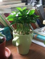 growing lemon seeds in a cup on your office desk