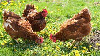chickens three
