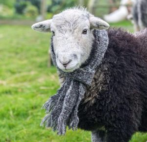 this herdwick looking smart