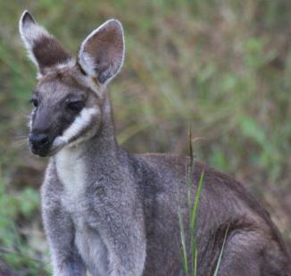 Wallaby-large
