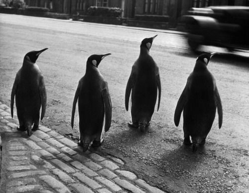 why did the penguins cross the road?