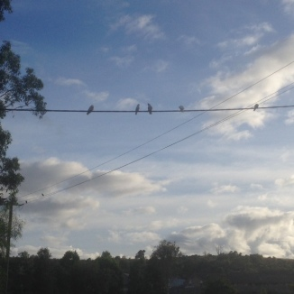 White cockatoos on a wire